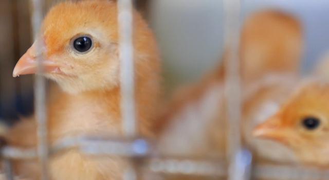 Gripe aviar: la UE avisa de brotes y el riesgo de juntarse con el COVID-19