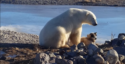 Resultado de imagen de oso polar  escapando del fuego