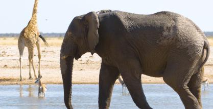 Los elefantes de África entran en peligro de extinción